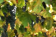 виноградник детали Стоковые Изображения RF