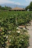 виноградник долины colchagua Чили Стоковая Фотография