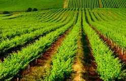 виноградник завальцовки Стоковые Фотографии RF