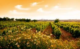виноградник захода солнца Стоковые Изображения RF