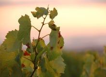 виноградник захода солнца стоковая фотография rf