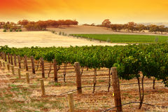 виноградник захода солнца barossa Стоковая Фотография
