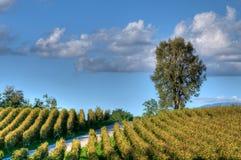 виноградник захода солнца franciacorta Стоковые Фотографии RF