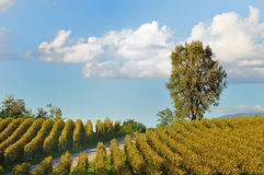 виноградник захода солнца franciacorta Стоковая Фотография RF