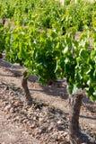 виноградник Испании стоковая фотография
