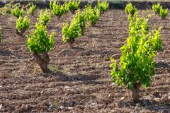 виноградник Испании стоковое фото
