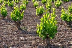 виноградник Испании стоковая фотография rf