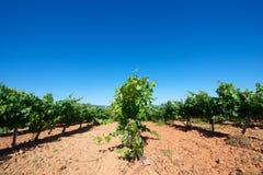 виноградник Испании стоковые изображения