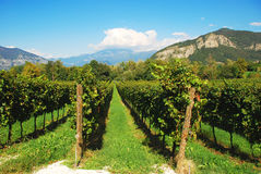 виноградник Италии Ломбардии Стоковое фото RF