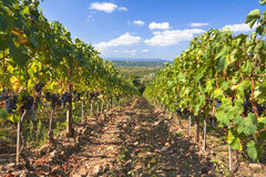 виноградник Италии Тосканы Стоковая Фотография RF