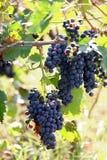 виноградник Италии chianti стоковое изображение