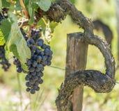 Виноградник и грейпфрут в Medoc около Бордо в Франции стоковые фото