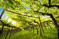 Виноградник классический главный DOC Kalterersee Caldaro озера, около озера Caldaro Больцано Италия стоковое изображение rf