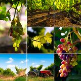 виноградник коллажа Стоковая Фотография