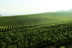 виноградник ландшафта Стоковая Фотография