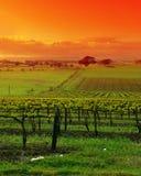 виноградник ландшафта Стоковые Фотографии RF