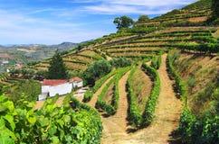 виноградник ландшафта Стоковая Фотография RF