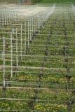 виноградник лета ландшафта Стоковое Фото