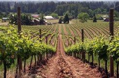 виноградник лета Стоковое фото RF