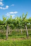 виноградник лета Стоковые Фото