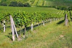 виноградник лета стоковые изображения rf