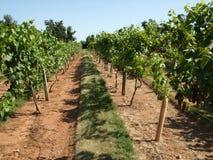 виноградник лета стоковая фотография