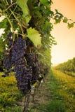 Виноградник на заходе солнца Стоковые Изображения RF