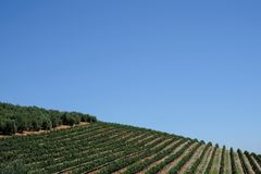 Виноградник на имуществе вина Tokara, Кейптауне, Южной Африке, принятой на ясный день Засаживают лозы в строках на горном склоне стоковое изображение