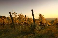 Виноградник на холмах Флоренса в Тоскане во время захода солнца осени Стоковые Изображения