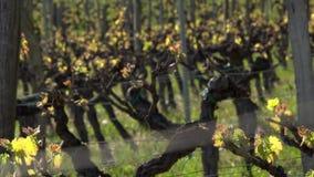 Виноградник, новый рост отпочковываясь вне от виноградного вина, виноградника Бордо сток-видео