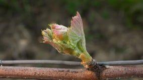 Виноградник, новый рост отпочковываясь вне от виноградного вина, виноградника Бордо акции видеоматериалы