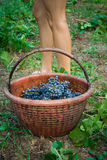 виноградник ног девушки Стоковое Фото
