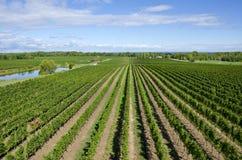 Виноградник около озера Онтарио Канады стоковые изображения rf