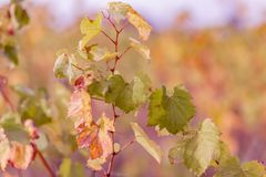 Виноградник осени Виноградное вино осенью в солнечном дне o Предпосылка запачканная природой r стоковые фото