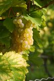 виноградник осени Стоковое Изображение RF