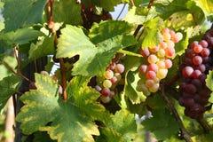 виноградник осени Стоковая Фотография RF