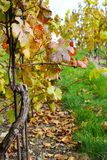 виноградник осени Стоковое фото RF