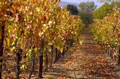 виноградник падения Стоковая Фотография