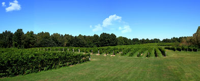 виноградник панорамы стоковая фотография rf