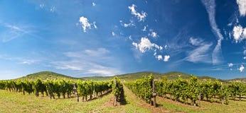 виноградник панорамы Стоковое Изображение RF