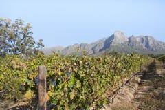 Виноградник плащи-накидк Стоковые Изображения RF