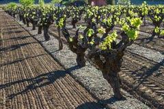 Виноградник: Подготавливайте, вырастите! стоковые изображения