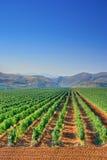 виноградник поля Стоковая Фотография