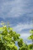 виноградник предпосылки Стоковая Фотография RF