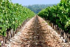 виноградник путя Стоковое Изображение RF