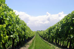 виноградник рядка Стоковые Фото