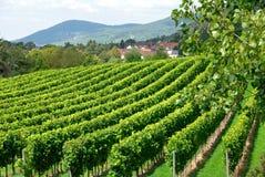 виноградник сельской местности Стоковые Фото