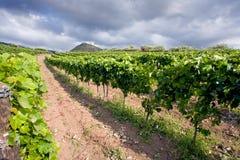 виноградник Сицилии стоковое фото rf