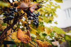 Виноградник с зрелыми виноградинами в сельской местности на заходе солнца Стоковые Изображения RF