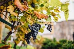 Виноградник с зрелыми виноградинами в сельской местности на заходе солнца Стоковое фото RF